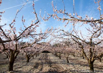 Serre des Vignes abricotiers en fleur © Anna Puig Rosado-1