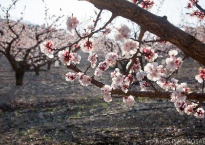 Serre des Vignes abricotiers en fleur © Anna Puig Rosado-4