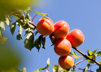 Serre des vignes abricots et paysages-1