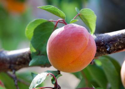 Serre des vignes abricots et paysages-13