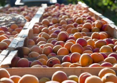 Serre des vignes abricots et paysages-3