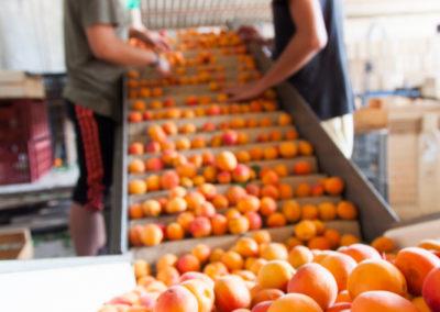 Serre des vignes abricots et paysages-41
