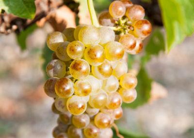 Serre des vignes vendanges machine blanc et cave © Anna Puig Rosado-10