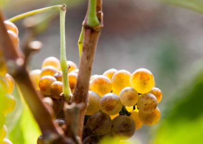 Serre des vignes vendanges machine blanc et cave © Anna Puig Rosado-14