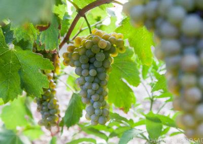 Serre des vignes vendanges machine blanc et cave © Anna Puig Rosado-9