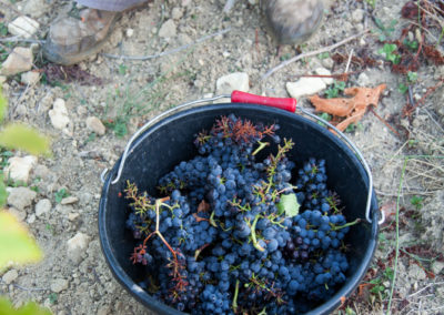 Serre des vignes vendanges manuelles © Anna Puig Rosado-14