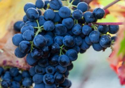 Serre des vignes vendanges manuelles © Anna Puig Rosado-25